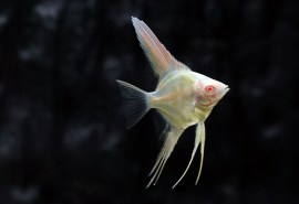 Angelfish Albino-angels and discus